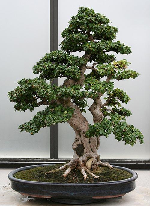 Bons i carmona retusa cuidados del bons i carmona retusa - Cuidado del bonsai ...