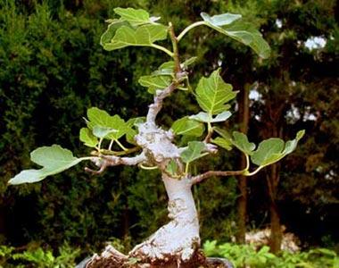 Bonsái Ficus Carica