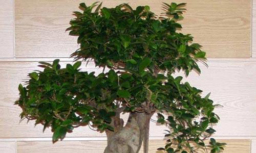 Bonsái Ficus Retusa Cuidados Del Bonsái Ficus Retusa