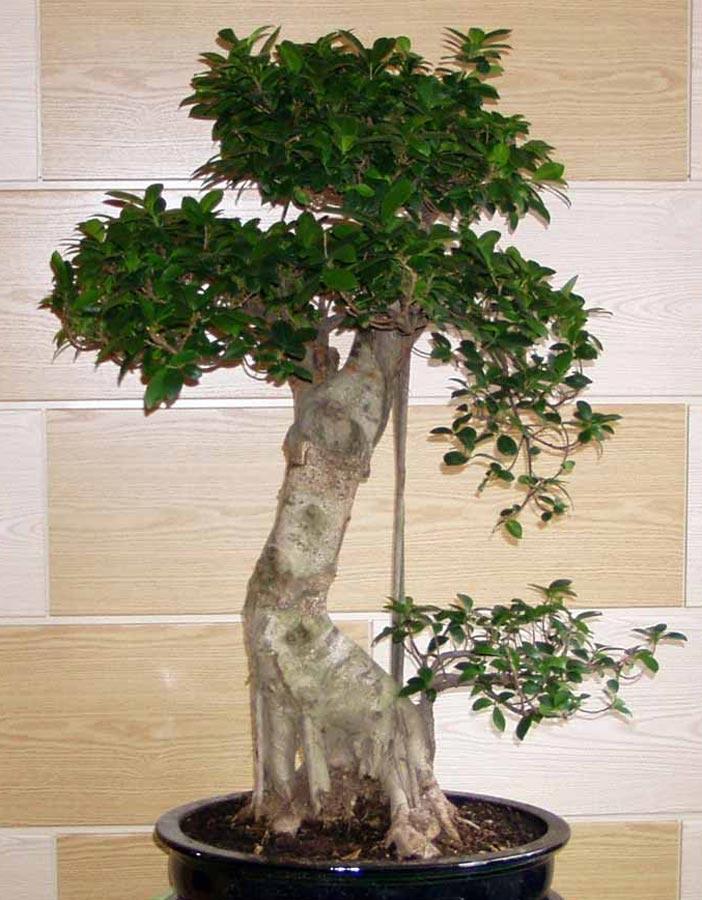 bonsai cuidado de plantas