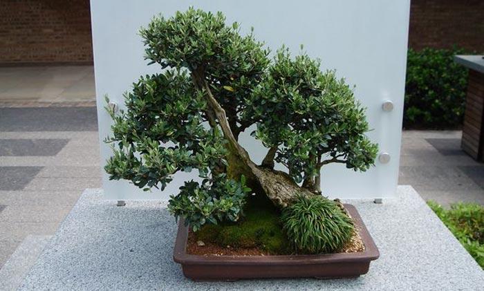 El blog de cibergarden enero 2011 - Como cuidar un bonsai ...