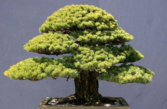 1000 images about bons is on pinterest bonsai bonsai - Ficus microcarpa cuidados ...