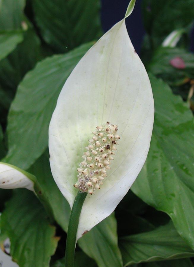 Plantas de interior espatifilo - Plantas de interior fotos ...