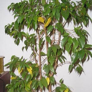 Las plantas for Ficus planta interior