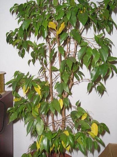 Plantas de interior ficus benjamina for Plantas de interior muy duraderas