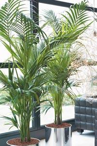 Plantas de interior kentia - Tipos de palmeras de interior ...