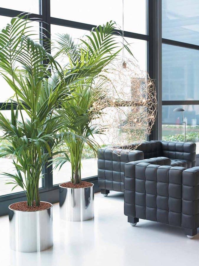 plantas de interior kentia