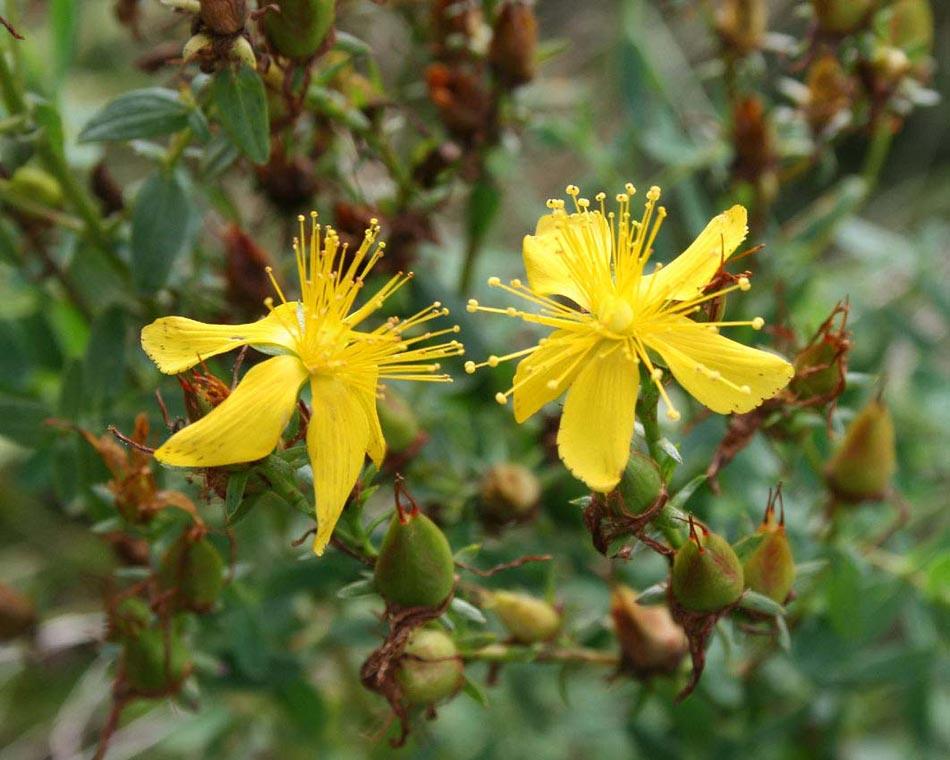 Plantas medicinales antidepresivas for Mezclas de plantas medicinales