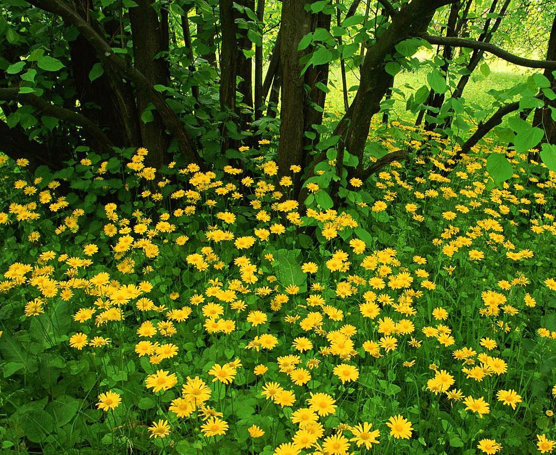 plantas de jardins tipos : plantas de jardins tipos:Tree with Yellow Flowers